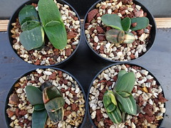 Gasteria Armstrongii X FH 65. For me a nice suprise.