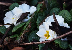 DSC_8877 Primroses (PeaTJay) Tags: nikond750 sigma reading lowerearley berkshire macro micro closeups gardens outdoors nature flora fauna plants flowers primrose primroses