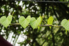 LOVE-ly leaves! (_chloechappell) Tags: singapore singaporemarina asia green marinabaysands heart hearts love leaf leaves nature plants travel photography exploring holiday canon canoncamera colourful lines pattern bokeh macro closeup