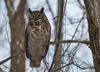 Grand-duc d'Amérique/Great Horned Owl-10397 (michel paquin2011) Tags: rouge grand duc rapace nocturne boisé sainte dorothée