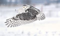 Snowy Owl - rural west Ottawa (Explored) (Rudy in Ottawa) Tags: