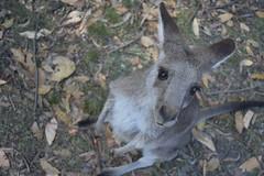 Went to see the kangaroos on Sunday. (biancarimmer96) Tags: nikond3400 nikon newsouthwales australia centralcoast wild animal kangaroo