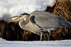 HJ7A0950 (djrocks66) Tags: wildlife nature animals birds raptors owls snowy harrier heron merganser seal harbor snow winter waterfowl fowl ducks flying long island ny canon outdoors hiking bif creatures