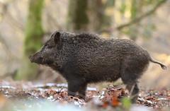 Wild Boar (oddie25) Tags: canon 300mmf28ii 1dx forestofdean boar wildboar pig wildlife wildlifephotography nature naturephotography