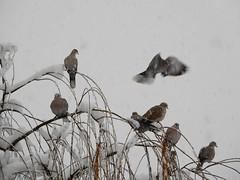 Doves in Snowstorm (starmist1) Tags: dove ring ringneckeddove tree willowtree branch limb perch willowwhip winter december