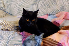 Remembering (knightbefore_99) Tags: cat kitty gato chat black noir cute pretty kitten best awespme great eyes gold watch love baby remember