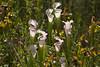 (DFChurch) Tags: pitcher plant nature alabama bog wildlife weeksbay flower
