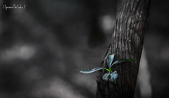 The Sprout (SpencerTheCookePhotography) Tags: wood macro tree dof depthoffield canon bokeh