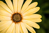 African Daisy 3-0 F LR 1-17-18 J200 (sunspotimages) Tags: flower flowers yellow yellowflower yellowflowers yellowdaisy africandaisy yellowafricandaisy nature daisies daisy
