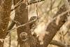 Peek-a-boo with a Pearl-Spotted Owlet (brendangreenwayphotography) Tags: birds bird pearlspottedowlet animals animal africa wildlife safari serengeti tanzania travel tree nature tarangire photography background
