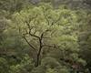 Glenbrook Gum (Old-Man-George) Tags: 2017 australia bluemountains georgewheelhouse glenbrook landscape nsw newsouthwales tree gumtree spring wwwgeorgewheelhousecom a175407