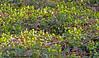 Aconites in the Woods (margaretc1946) Tags: aconite wildflower gloucestershire pentaxk3 tamron90mmf28macrolens