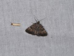 Dichromodes semicanescens (dhobern) Tags: 2018 australia dryandra gnaalamia january lepidoptera wa geometridae oenochrominae dichromodessemicanescens