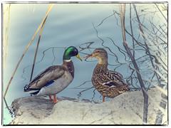 PATOS ENAMORADOS (BLAMANTI) Tags: patos aves avesdeespaña canon canonpowershotsx60 agua blamanti amor enamorados dulce amorosos