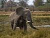 Adolescent male elephant...Moremi Game Reserve, Okavango Delta, Botswana (momathew) Tags: loxodonta africanelephant elephant mockcharge botswana moremi dust wildlife africa southernafrica safari naturethroughthelens