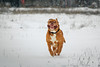 SHA_0188 (andreyshkvarchuk) Tags: dog doguedebordeaux mastiff winter snow