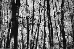 autumn forest no.4 (darkopix) Tags: autumn forest trees nature rich fall october greece landscape landscapes leaves fallen beautiful nikon mountain paisaje texture outdoor tree wood park blackandwhite black blackandwhiteprocessing thick dark abstract lines shadows sunlight