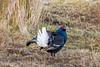 JWL4376  Black Grouse.. (jefflack Wildlife&Nature) Tags: blackgrouse grouse gamebirds moorland mountain mountains heathland moors heaths countryside nature wales ngc coth5 npc