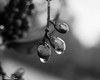 Berry Drops (that_damn_duck) Tags: blackwhite monochrome rain nature raindrops berry berries waterdrops droplets