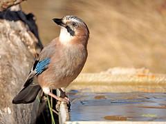 Arrendajo euroasiático (Garrulus glandarius)  (81) (eb3alfmiguel) Tags: aves passeriformes corvidos coracidae arrendajo euroasiático garrulus glandarius corvidae pájaros