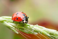 Coccinella septempunctata (karol.ox) Tags: invertebrate insect nature animal summer garden wildlife ladybird coleoptera