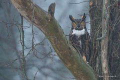 Owl in the fog (Earl Reinink) Tags: bird animal raptor predator outside outdoors woods winter snow fog earl reinink earlreinink nature photography wings owl greathornedowl ittdauadza