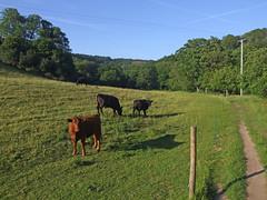 Field next to River Teign, near Teign Gorge, in evening sunshine (Philip_Goddard) Tags: europe unitedkingdom britain british britishisles greatbritain uk england southwestengland devon dartmoornationalpark drewsteignton teignvalley teigngorge evening field cows