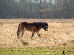 wild horse (martin.smolak) Tags: wild horse nature tree grass water swamp animal czech republik jaromer bird park josefov meadow field forest wood mammal