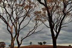 Burnt paddock and trees (holly hop) Tags: tree fire farm burnt burn bushfire australia centralvictoria victoria emu black dry summer hot cfa ses clouds abctvweather