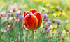 Spring is just around the corner!! (Good Nature One) Tags: springisjustaroundthecorner flower macro nature bloom tulip orange red yellow purple green pink