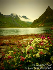 Flower-Filled Fjords (liamearth) Tags: earth loch shore sky clouds mountain sceneic wilderness beautiful view outdoor water grass western landscape wild lofoten norway arctic circle traveling moskenesøya real life camping rock serene mountainside bay crag snow pond sea tree wood flower filled fjord seaweed pink nordvalle fredvang ramberg