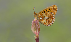 Pearl-bordered Fritillary (Boloria euphrosyne). (Bob Eade) Tags: pearlborderedfritillary boloriaeuphrosyne butterfly sussex spring woodland wildlife bluebell lepidoptera eastsussex fritillary female macro nature nikon
