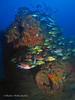 bvi 17 P8312381 (Pauline Walsh Jacobson) Tags: underwater scuba dive diving bvi water coral reef ocean sea marine life fish schooling wideangle