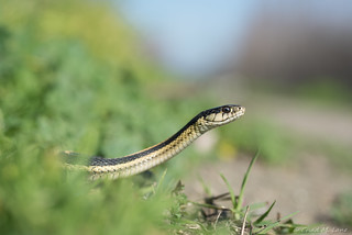 Mountain Gartersnake (Thamnophis elegans elegans)