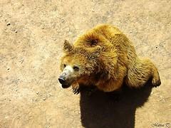 Oso pardo (MarisaTárraga) Tags: españa spain murcia terranatura oso bear animal zoo fujifilmsl300 osopardo