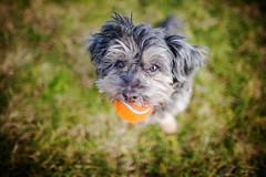"7/52 - ""Can you throw it""? (Kirstyxo) Tags: teddy cute dog portrait ball chuckit 752 52weeksfordogs18 52weeksfordogs2018 52weeksfordogs"