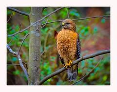 Red-Shouldered Hawk (George McHenry Photography) Tags: raptors hawk redshoulderedhawk southcarolinabirds southcarolina