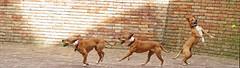 Three ... jugglers dogs :-) - Stitch by Gianni Del Bufalo CC BY 4.0 (bygdb - Gianni Del Bufalo (CC BY)) Tags: cani dogs ball pallina muro wall stitch jugglers canigiocolieri jugglersdogs