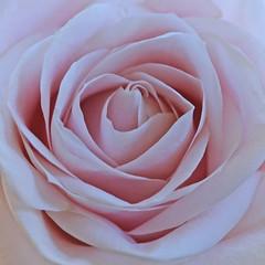 Gentle petals (IngeHG) Tags: thenetherlands home bouquet rose pink macro