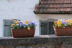 Bunte Tupfer, Frühlingszeichen (michadickmann) Tags: blumen blühen farbtupfer frühling garten freude lieblich bunt formen farben