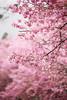 春暖花開的櫻花 IMG_109520 (Cookie Chang X 小餅) Tags: 台灣 台中和平 和平區 武陵農場 武陵 櫻花 櫻花季 花季 花海 花 紅粉佳人 吉野櫻 染井櫻 風景 植物 花朵 canon eos 6d 散景