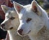 The parents (^Diana^) Tags: 2260c dogs sled greenland arctic sleddogs parents pups