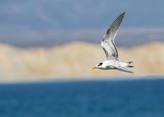 Elegant Tern (Jonah Benningfield) Tags: