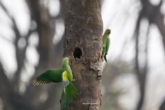 Home Sweet Home (SujithPhotography) Tags: savekaggadaspuralake savelakes savebangalorelakes saveenvironment savehabitat csr corporatesocialresponsibility parakeet parrot parrots bird birds