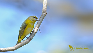 Yellow-crowned euphonia - Organiste à calotte jaune - Eufonia coroniamarilla - Euphonia luteicapilla