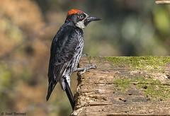 IMG_4233 Acorn Woodpecker - LN  Carpintero Bellotero - Mexico City - Jan 2018 (Saad Towheed Photography) Tags: acorn woodpecker carpintero bellotero mexico city bird feather beak clown wing