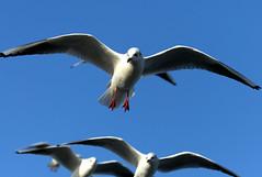 Gulls under blue sky 2 (HDRforEver) Tags: sky bluesky harbor cuxhaven germany gulls möven blue blau canon 5d mark3 markiii sea