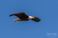 Bald Eagle approach and landing - 6 of 27