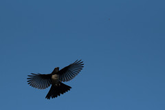 180116_Willy Wag Tail_Flight_01 (Pusher141) Tags: willywagtail pineylakes d750 nikkor200500 bird birds ornithology flight feeding insects