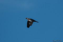 Palombe_3205 (Luc Barré) Tags: palombiére palombiéres palombe ramier pigeon landes losse estampon ciel vol vols oiseau oiseaux sky bird birds